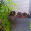 lobelia from seed, repotted, with borrage and sweet potato vine
