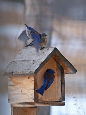 First Western Blue Bird March 8 th 2012.