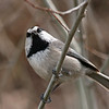 Mountain Chickadee.