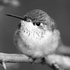 Female Calliope Hummingbird.