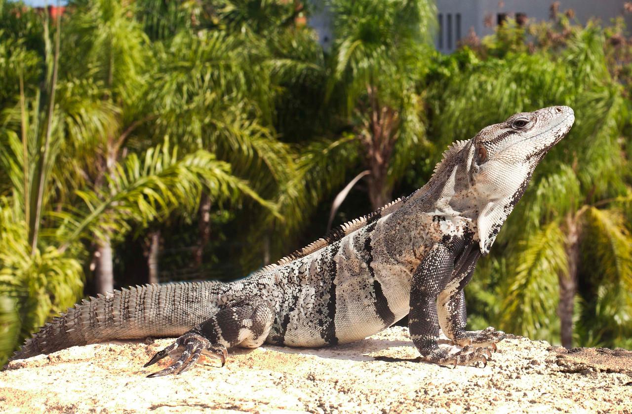 Iguana,  Riviera Maya