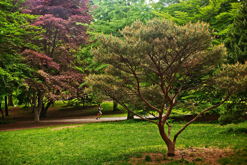 Tanyosho Pine (also known as Japanese Umbrella Pine), Central Park