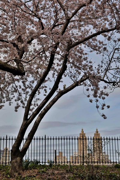 Cherry Blossoms and El Dorado,, April