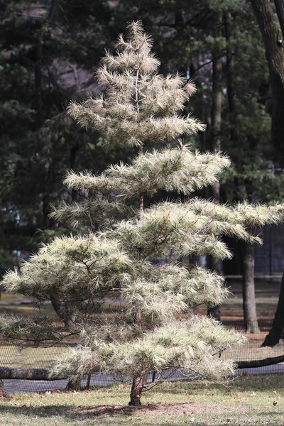 Japanese Red Pine in Arthur Ross Pinetum