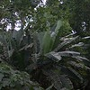 jungle behind the house, banana or plantain trees are the undergrowth, huge trees tower above them