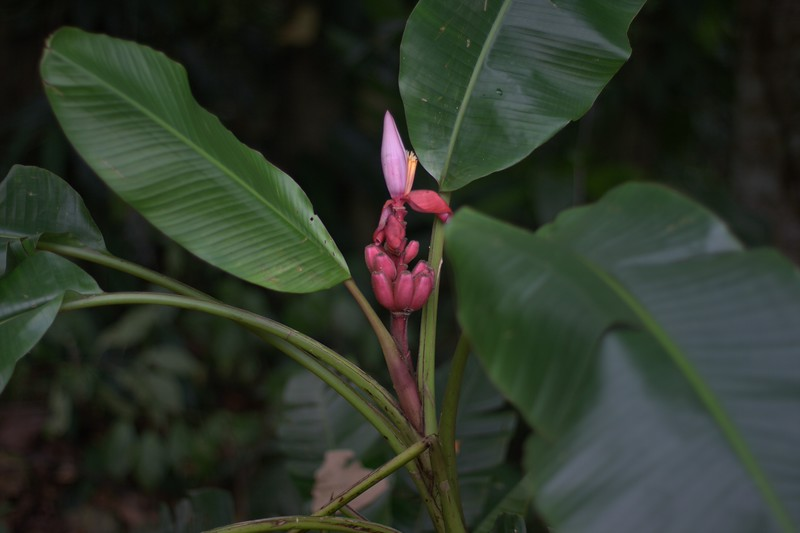red bananas growing wild