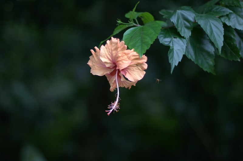 hibiscus right in front of my front door (bonus flying insect)