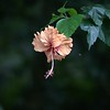 hibiscus right in front of my front door (bonus flying insect)