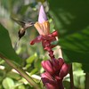 hummingbird on some red banana flowers