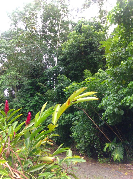 red ginger - Alpinia purpurata (flowering) in the foreground, Cecropia peltata (tree with white bark in back) where the sloth lives