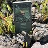 'Ohai -- Sesbania tomentosa (sign, with ferns)