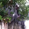 ellen in a huge tree near the hotel in kailua-kona