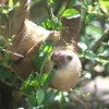 two toed sloth blissed out on leaves