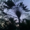 traveller's palm, Ravenala madagascariensis, and the cell phone tower of the village