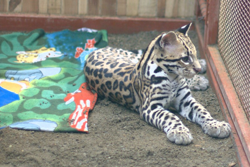 baby ocelot (four months old) being raised for release