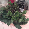 a plethora of kale (italian aka dinosaur   redbor   scarlet) grown at stattgarten
