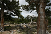 a grove of bristlecone pines