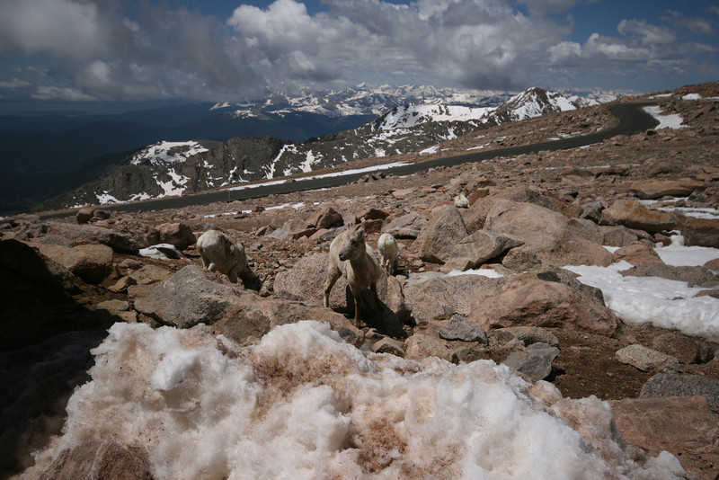 mountain goat herd on Mt. Evans