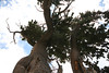 ancient bristlecone pines