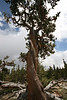 a very old tree: bristlecone pine near Mt. Evans