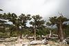 bristlecone pines near Mt. Evans