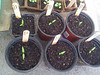 jalepeño peppers potted up