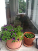 windowsill plants: miniature petunias   sediment and parsley, with comfy window couch in background