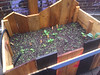 newly planted box with peppers and bok choi