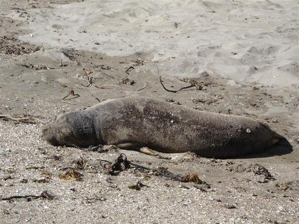 Seal at Maverick's Beach