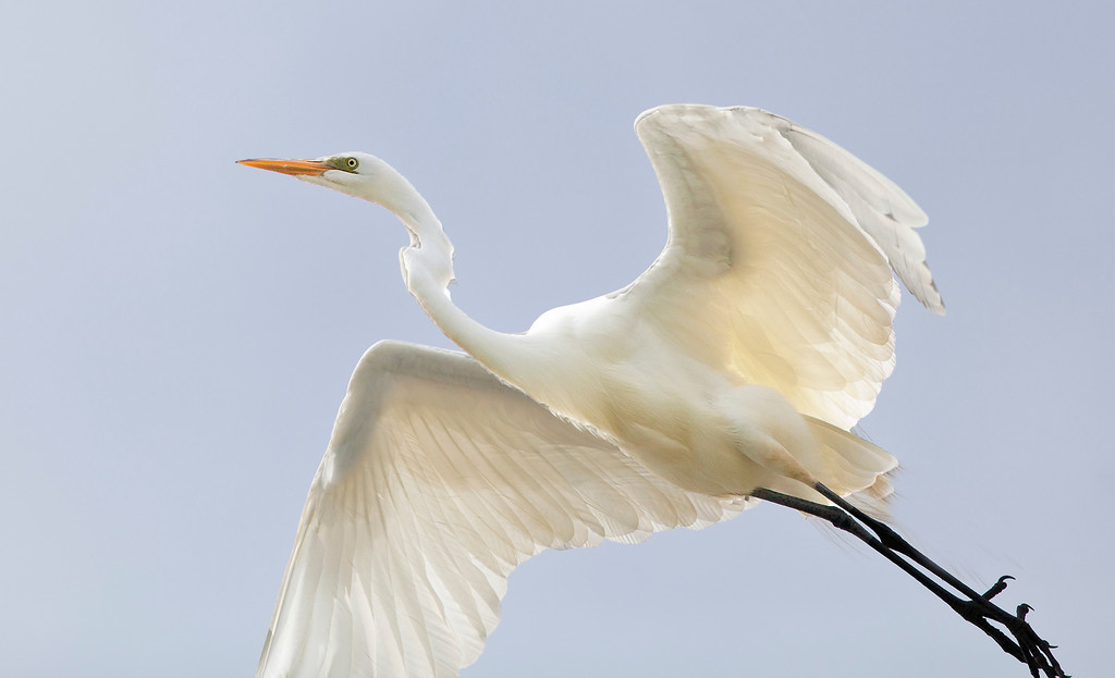 Great White Egret, East Hampton, In Flight