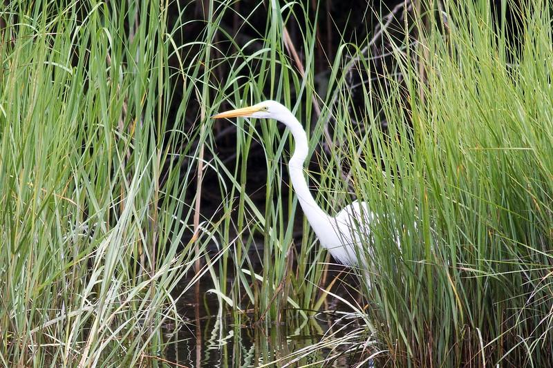 Egret, Springs
