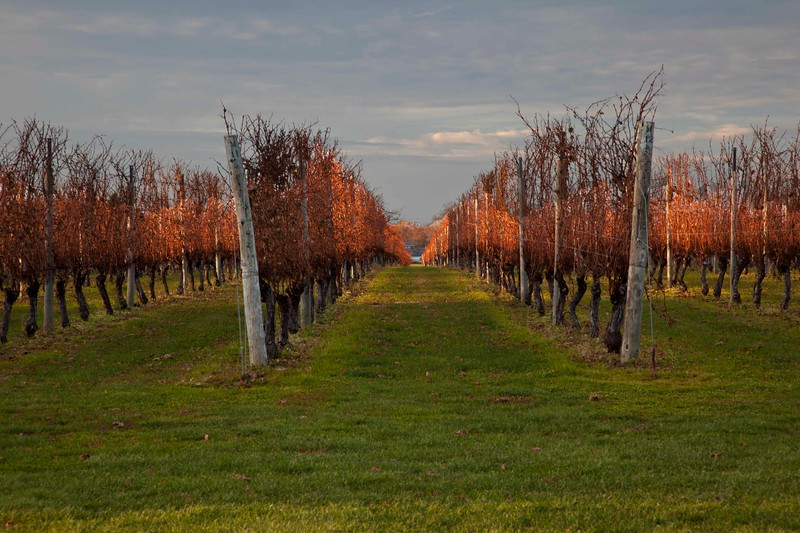 Peconic Vineyard, Autumn, After the Harvest