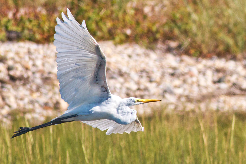 Great Egret in Flight, Head Curled in and Legs Extended