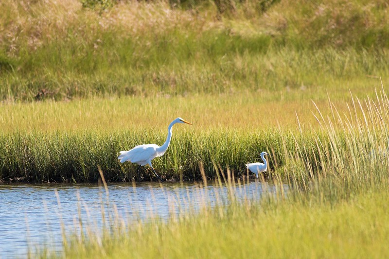 Great Egret With Offspring, Orient State Park