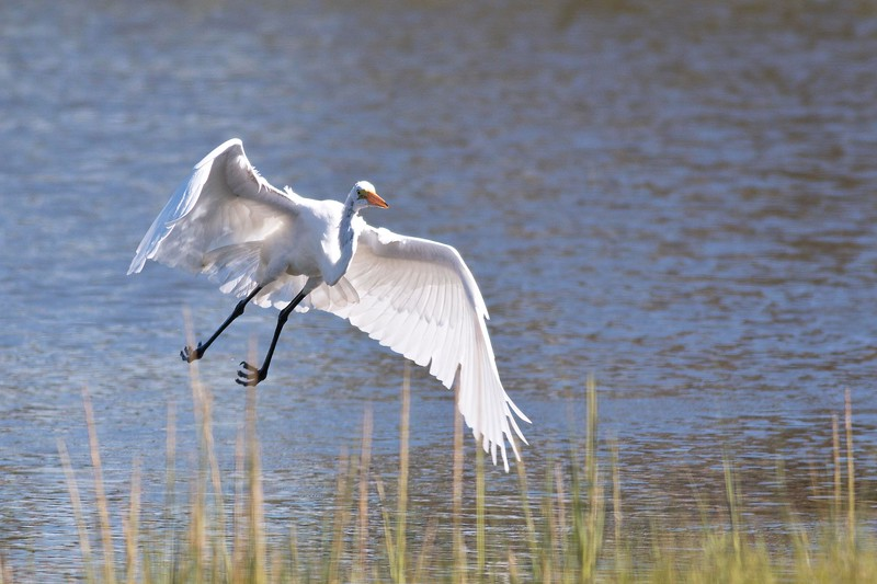 Great Egret, Landing