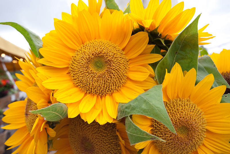 Sunflowers, Sagaponack Farmstand