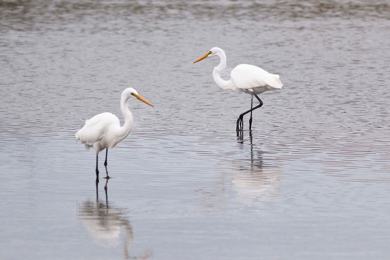 Great Egrets, Orient State Park