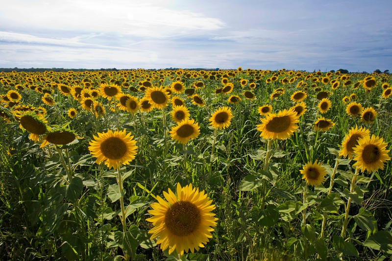 Sunflower Field, Cutchogue