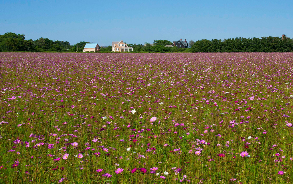 Field of Flowers, East Hampton