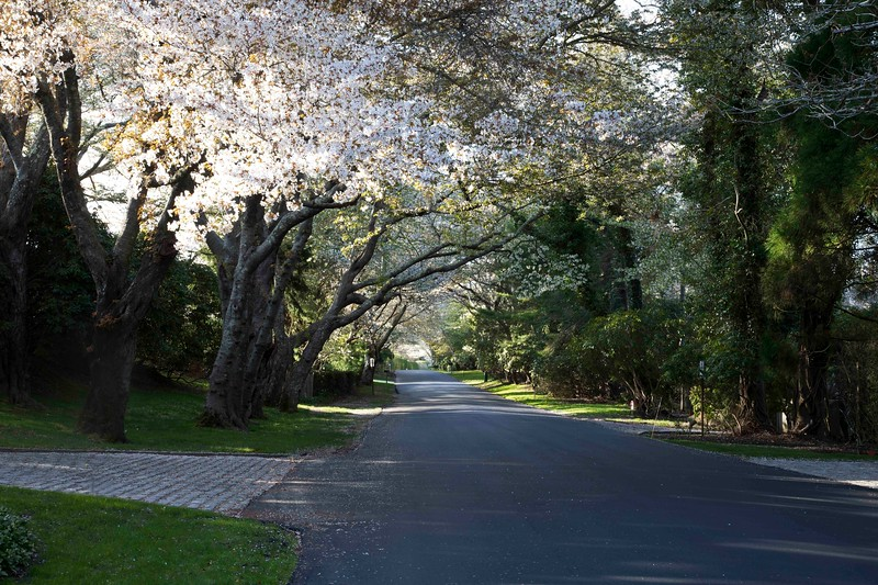 Cross Highway Cherry Blossoms, East Hampton