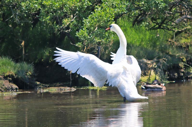 Trumpeter Swan, Springs