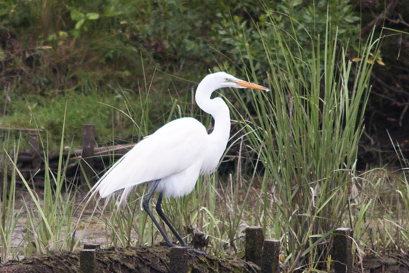 Egret, Accabonic Harbor