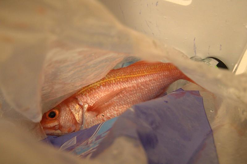 Ehu (Short Tail Red Snapper)
