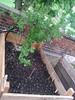 mustard greens + gooseberry tree at Stattgarten