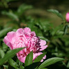 peonies in knoxville in may