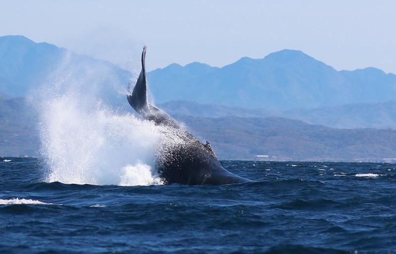 Whale, Banderas Bay, Puerto Vallarta