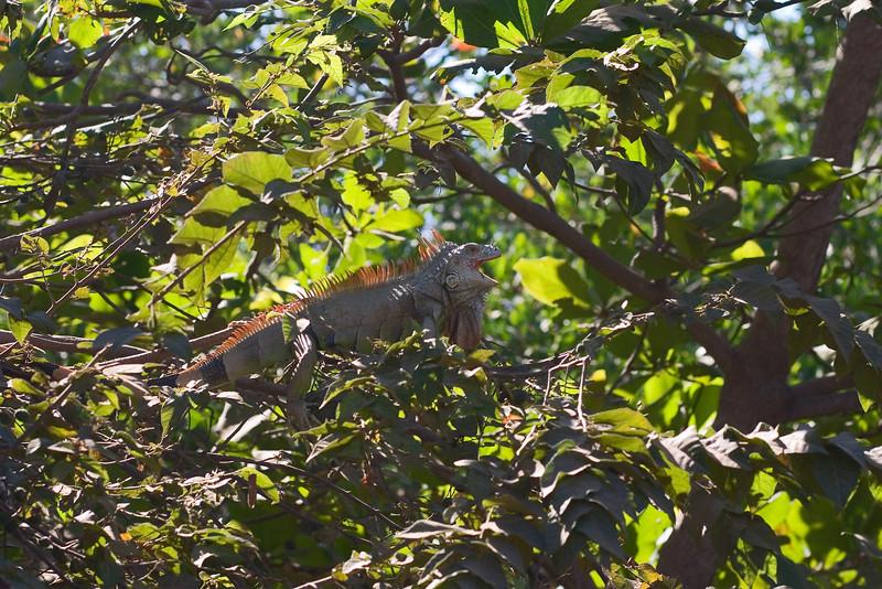 Camouflaged Iguana, Park near Playa Linda, Ixtapa