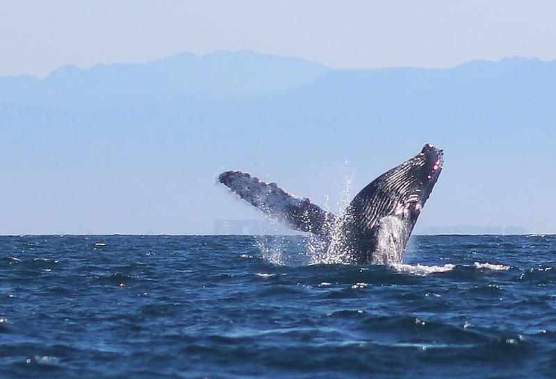 Humpback Whale, Banderas Bay, Puerto Vallarta