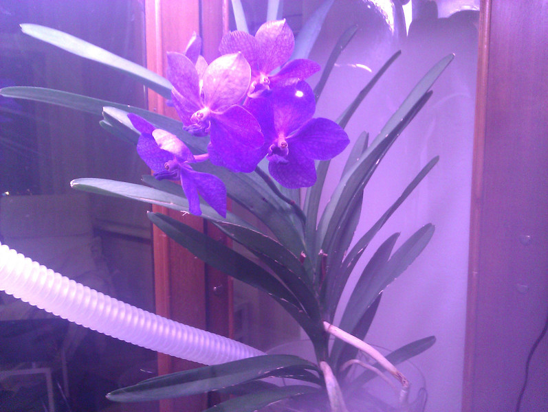 ascocenda blooming in the orchidarium, with the ccfl grow light on