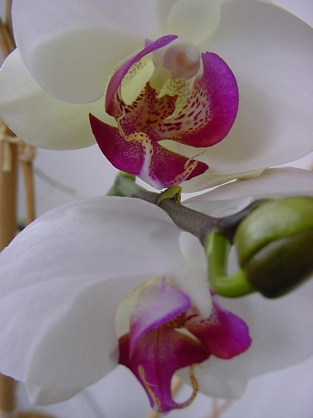 the orchid that wouldn\'t die